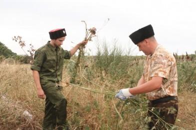 Сегодня на территории Александровского сельского поселения было уничтожено 1197 растений дикорастущей наркосодержащей конопли