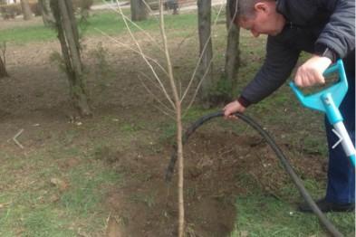 С начала 2020 года на территории парка имени Поддубного города Ейска были высажены 82 саженца клена