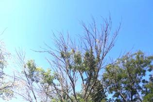 Хорошие деревья спиливаем, а до сухих не доходят руки
